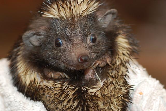 Hedgehog with Ears