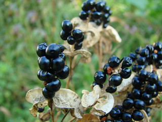 Blackberry lily fruit