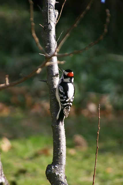 Woodpecker on Pear Tree