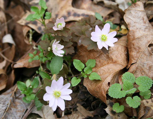 Anemonella thalictroides, rue anemone / Kentucky