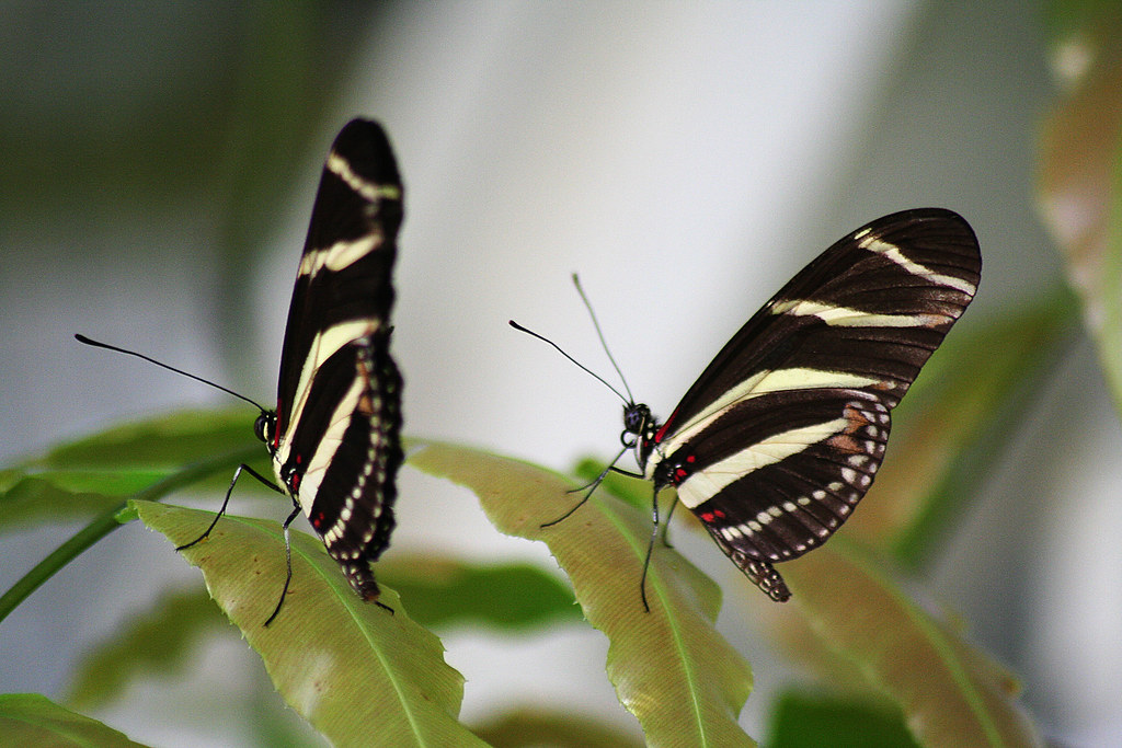 Couple of Butterflies