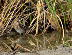 Wilson's Snipe (Orange County, CA)