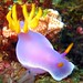 Hypselodoris bullocki - Photo (c) Raymond™, some rights reserved (CC BY-NC-ND)