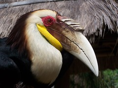 pelican(0.0), wing(0.0), vulture(0.0), wildlife(0.0), animal(1.0), hornbill(1.0), fauna(1.0), close-up(1.0), beak(1.0), bird(1.0), seabird(1.0),