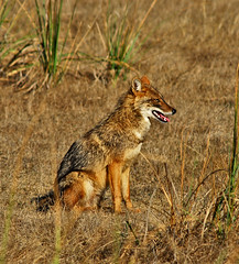 animal, prairie, red wolf, mammal, jackal, fauna, red fox, dhole, wildlife,