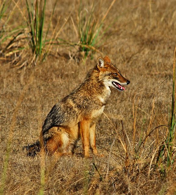 Jackal Canis aureus