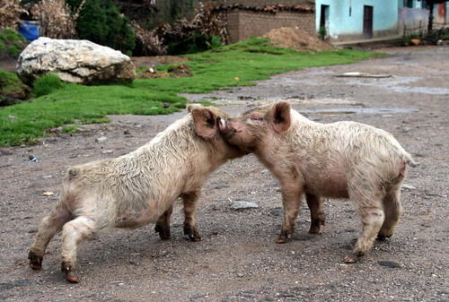 perú cerdo suramerica