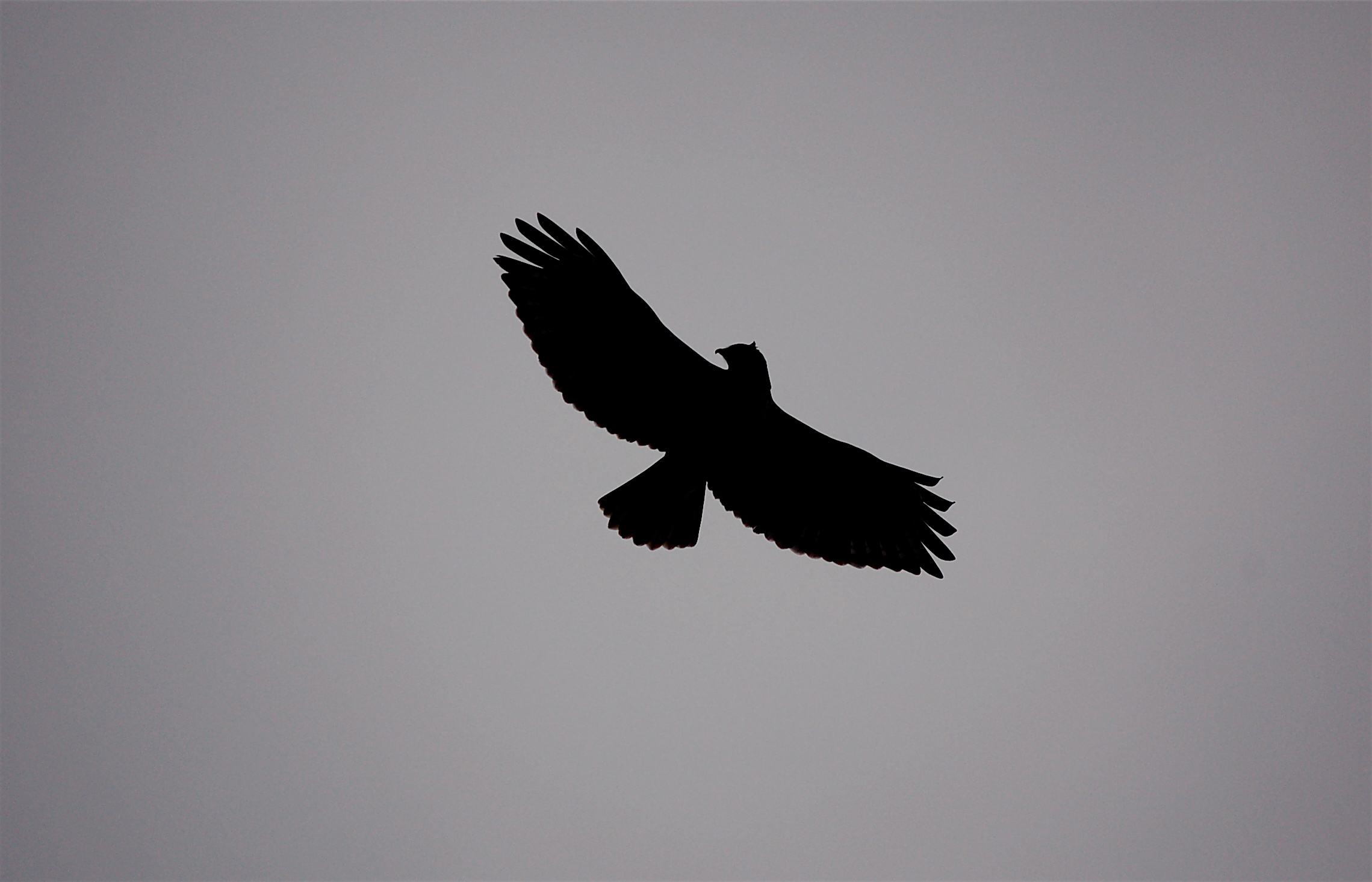 silhouette flying bird silhouette red tail hawk silhouette flying hawkFlying Hawk Silhouette