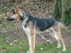 dog breed(1.0), german shepherd dog(1.0), animal(1.0), west siberian laika(1.0), dog(1.0), czechoslovakian wolfdog(1.0), canaan dog(1.0), pet(1.0), shikoku(1.0), east siberian laika(1.0), norwegian elkhound(1.0), tamaskan dog(1.0), northern inuit dog(1.0), wolfdog(1.0), saarloos wolfdog(1.0), east-european shepherd(1.0), native american indian dog(1.0), norwegian lundehund(1.0), jã¤mthund(1.0), shiloh shepherd dog(1.0), carnivoran(1.0),