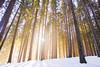 Pine Forest in Demänovska Dolina | Low Tatras | Slovakia