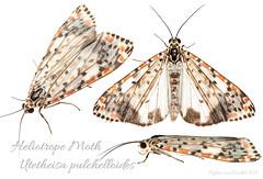 Heliotrope Moth (Utetheisa pulchelloides)