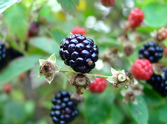 blackberry, berry, branch, plant, macro photography, flora, produce, fruit, food, boysenberry, dewberry,