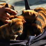 Striped Dogs - Urumqi, China