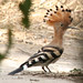 Common Hoopoe - Photo (c) Elsa BARTHES, some rights reserved (CC BY-ND)