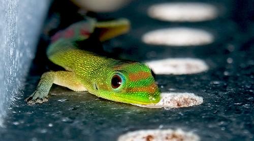 hawaii gecko bigisland kona abigfave 20080303540