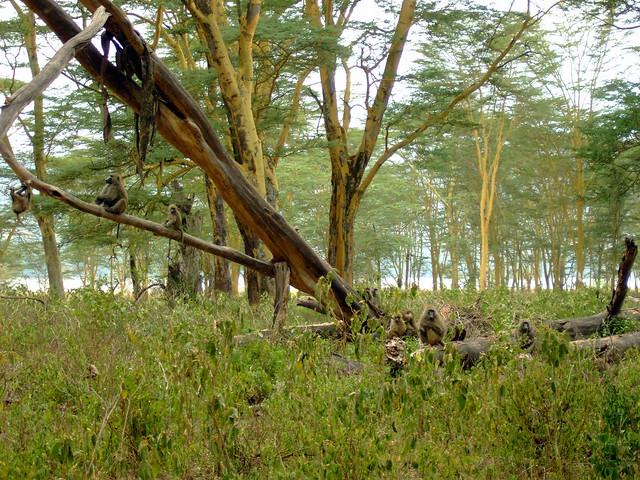 Grupo de babuinos en el Parque Nacional del Lago Nakuru
