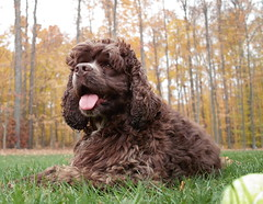 lagotto romagnolo(0.0), spanish water dog(0.0), miniature poodle(1.0), dog breed(1.0), animal(1.0), dog(1.0), schnoodle(1.0), boykin spaniel(1.0), pet(1.0), mammal(1.0), poodle crossbreed(1.0), irish water spaniel(1.0), spaniel(1.0), cockapoo(1.0), portuguese water dog(1.0), barbet(1.0), american water spaniel(1.0),
