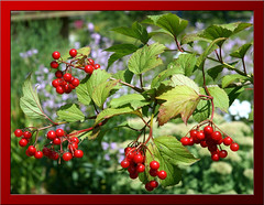 berry, branch, plant, flora, produce, fruit, food, currant,
