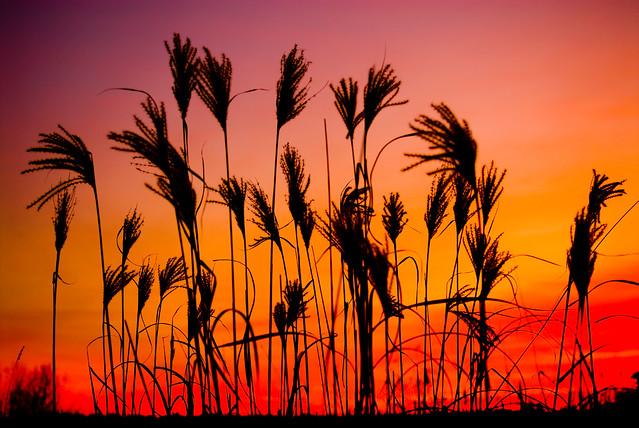 Winter Sunset Behind the Grass
