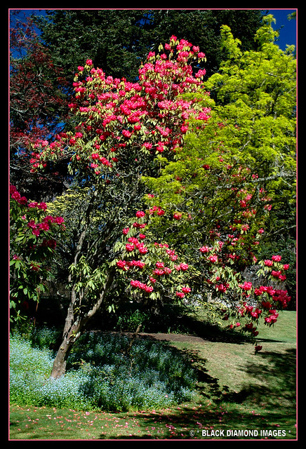 Rhododendron arboreum - Tree Rhododendron -  Milton Park Lodge - Bowral