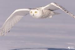 ''Petite-Tâche!''Hafang des neige-Snowy Owl