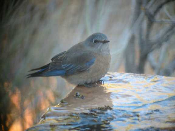Western Bluebird female FEB03
