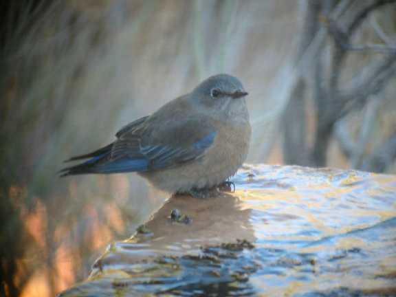 Western Bluebird female FEB03