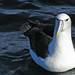 White-capped Albatross - Photo (c) David Cook Wildlife Photography, some rights reserved (CC BY-NC)