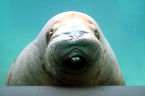 Joan the Walrus