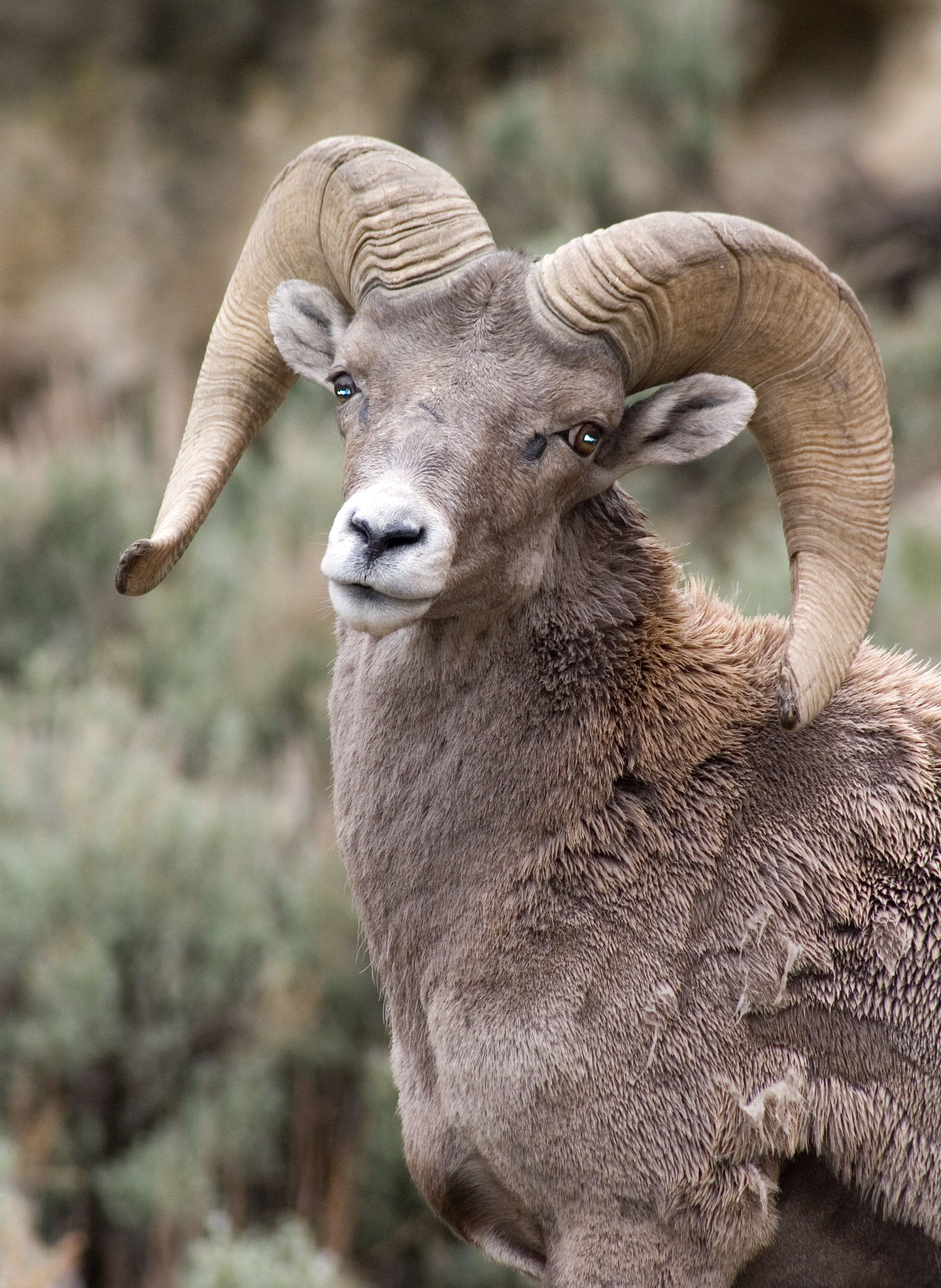 bighorn sheep ram animal spirit guide