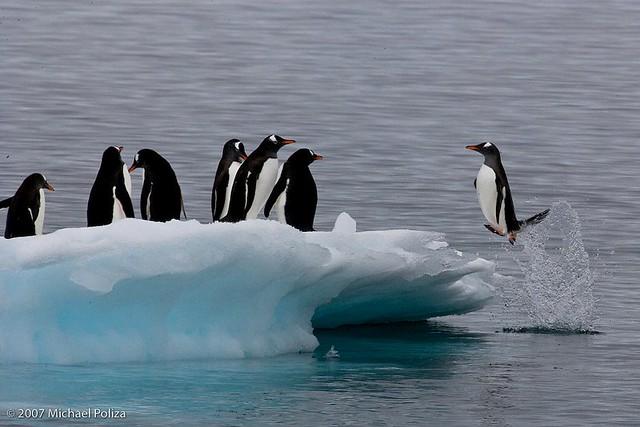 Jumping Gentoo Penguins...