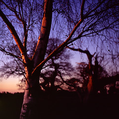 Mogshade Hill - sunset birch