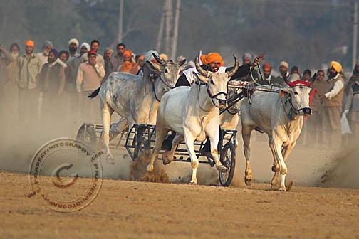 Bullock cart racing at Kila Raipur