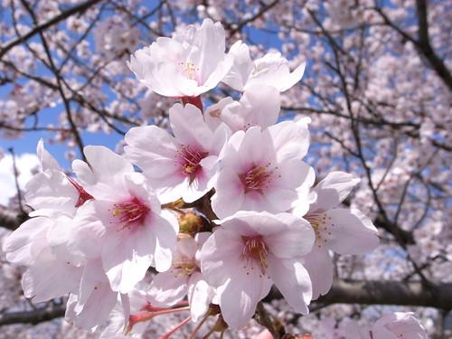 桜10 Cherry blossom