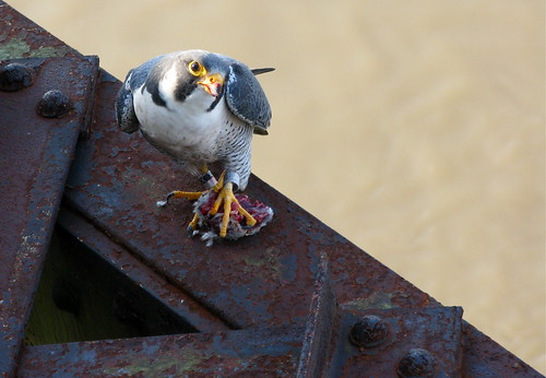 Peregrine Falcon on Old Chain of Rocks Bridge