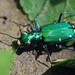 Six-spotted Tiger Beetle - Photo (c) Lisa Brown, some rights reserved (CC BY-NC)