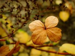 The last Hydrangea flower of the season...