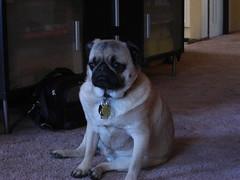 olde english bulldogge(0.0), dog breed(1.0), animal(1.0), dog(1.0), pet(1.0), toy bulldog(1.0), carnivoran(1.0), pug(1.0),
