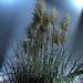 Pampas Grass - Photo (c) Hindrik Sijens, some rights reserved (CC BY-NC-SA)