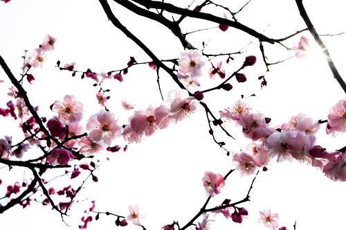pourquoi les fleurs tropiques japonaises. Black Bedroom Furniture Sets. Home Design Ideas