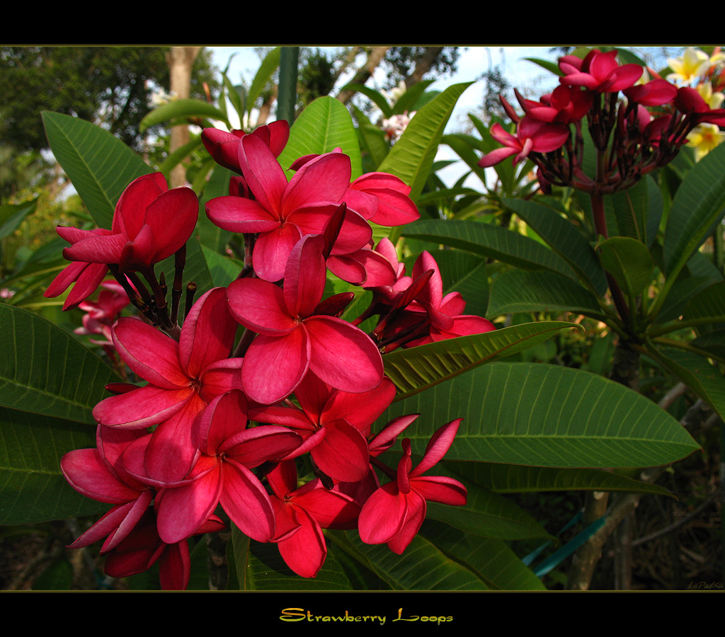 Hawaiian Flowers The Plumeria Strawberry Loops A Photo On Flickriver