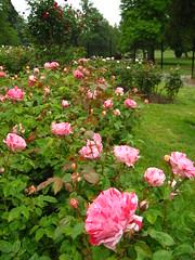 garden roses(0.0), peony(0.0), rosa rugosa(0.0), rosa wichuraiana(1.0), annual plant(1.0), shrub(1.0), rosa 㗠centifolia(1.0), floribunda(1.0), flower(1.0), garden(1.0), rosa gallica(1.0), plant(1.0),