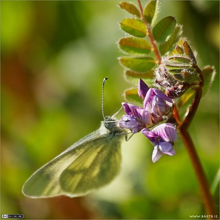 Small White on Bush Vetch