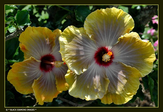 Hibiscus rosa-sinensis Hybrid  - ID Assistance Welcomed