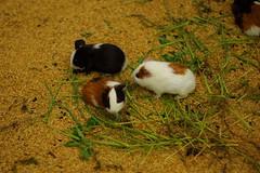 rabbit(0.0), domestic rabbit(0.0), animal(1.0), guinea pig(1.0), rodent(1.0), pet(1.0), fauna(1.0),