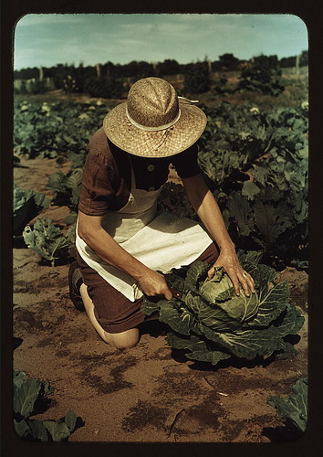Cabbage farming