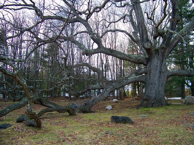 The Dewey Oak