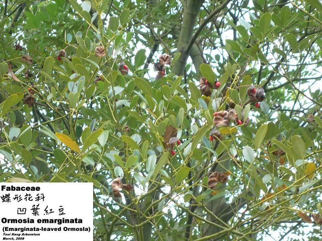 emarginata 凹叶红豆