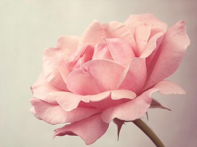 Pink Rose Photography Tumblr