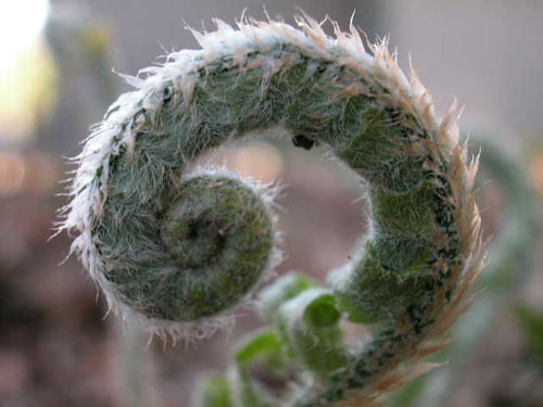 Circinnate Vernation in a Fiddlehead Fern
